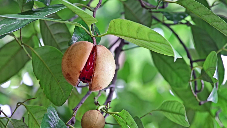 Muskatbaum mit Früchten