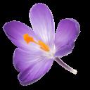 schwebende Safranblüte